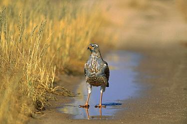 Pale Chanting-goshawk (Melierax canorus) adult standing in a puddle, Kgalagadi Transfrontier Park, South Africa  -  Richard Du Toit