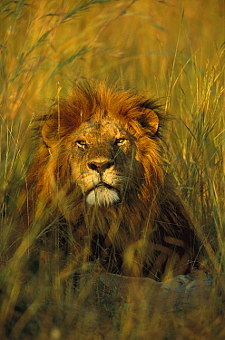 African Lion (Panthera leo) portrait of adult male resting in tall grass, Masai Mara National Reserve, Kenya