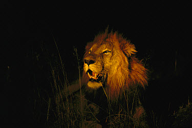 African Lion (Panthera leo) adult male roaring at night, Sabi Sands Private Game Reserve, South Africa  -  Richard Du Toit