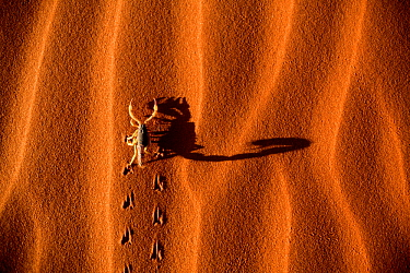 Thick-tailed Scorpion (Buthidae) walking on sand dune and casting a shadow, Namib-Naukluft National Park, Namibia