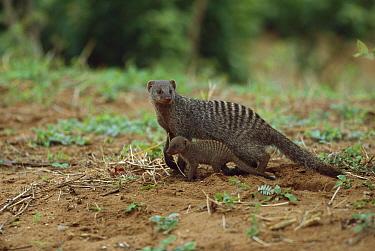 Banded Mongoose (Mungos mungo) mother with baby, summer, Chobe National Park, Botswana  -  Richard Du Toit