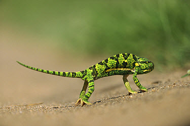 Flap-necked Chameleon (Chamaeleo dilepis) standing on its tip-toes in the hot sand, summer, Sabi Sands Private Game Reserve, South Africa  -  Richard Du Toit