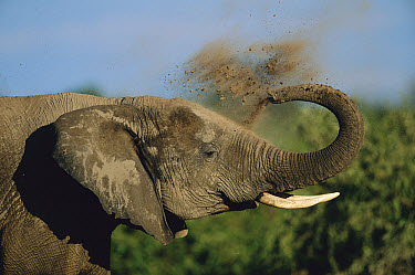 African Elephant (Loxodonta africana) giving himself a dust bath, Chobe National Park, Botswana  -  Richard Du Toit
