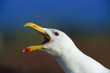 Kelp Gull (Larus dominicanus), Bird Island, Lambert Bay, South Africa  -  Richard Du Toit