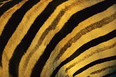 Burchell's Zebra (Equus burchellii) close-up of stripes on flanks, Itala Game Reserve, South Africa  -  Richard Du Toit