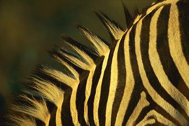 Burchell's Zebra (Equus burchellii) close-up of stripes on neck, Itala Game Reserve, South Africa  -  Richard Du Toit