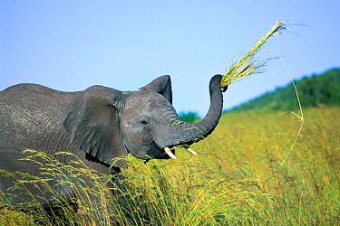 African Elephant (Loxodonta africana) pulling up bunches of grasses with trunk, Masai Mara National Reserve, Kenya