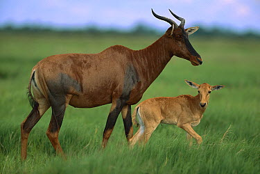 Topi (Damaliscus lunatus) mother and young, Savuti, Chobe National Park, Botswana  -  Richard Du Toit