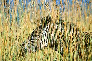 Burchell's Zebra (Equus burchellii) standing in tall grass, Itala Game Reserve, South Africa