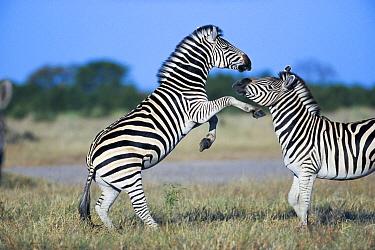 Burchell's Zebra (Equus burchellii) stallions sparring, Savuti, Chobe National Park, Botswana