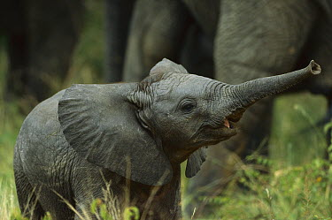 African Elephant (Loxodonta africana) calf trumpeting near herd, summer, Sari Sand Game Reserve, South Africa  -  Richard Du Toit