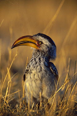 Southern Yellow-billed Hornbill (Tockus leucomelas) portrait, Savuti, Chobe National Park, Botswana  -  Richard Du Toit