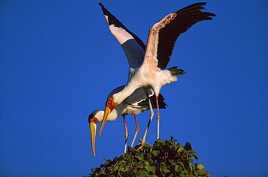 Yellow-billed Stork (Mycteria ibis) pair, Chobe River, Namibia  -  Richard Du Toit