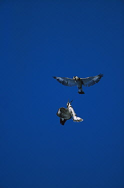 Pied Kingfisher (Ceryle rudis) pair flying, Chobe River, Botswana  -  Richard Du Toit