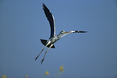 Grey Heron (Ardea cinerea) flying, Chobe River, Caprivi Strip, Namibia  -  Richard Du Toit