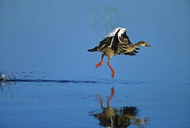 Egyptian Goose (Alopochen aegyptiacus) taking flight off water's surface, summer, Chobe National Park, Botswana  -  Richard Du Toit