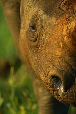 Black Rhinoceros (Diceros bicornis) close-up of face, Itala Game Reserve, South Africa  -  Richard Du Toit