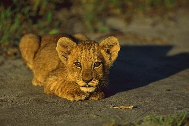 African Lion (Panthera leo) cub, summer, Savuti, Chobe National Park, Botswana  -  Richard Du Toit