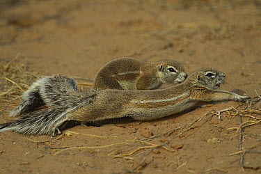 Cape Ground Squirrel (Xerus inauris) stretching, Kgalagadi Transfrontier Park, South Africa  -  Richard Du Toit