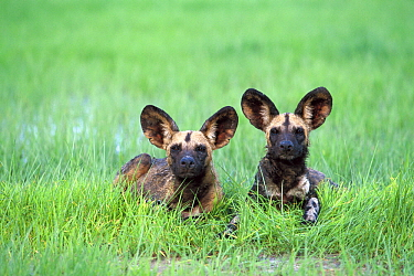 African Wild Dog (Lycaon pictus) pair laying in green grass of summer, endangered, Savuti, Chobe National Park, Botswana