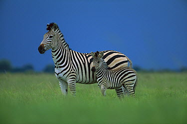 Burchell's Zebra (Equus burchellii) mother and foal, summer, Savuti, Chobe National Park, Botswana  -  Richard Du Toit