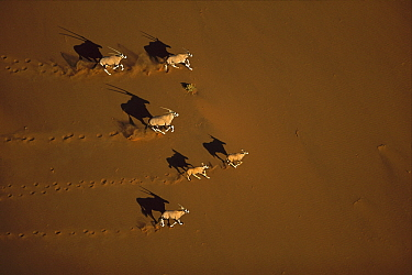 Gemsbok (Oryx gazella) running, Namib-Naukluft National Park, Namibia