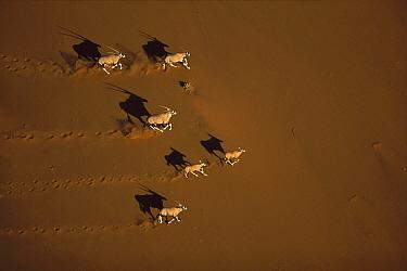 Gemsbok (Oryx gazella) running, Namib-Naukluft National Park, Namibia