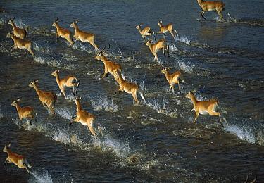 Lechwe (Kobus leche) herd, Okavango Delta, Botswana  -  Richard Du Toit