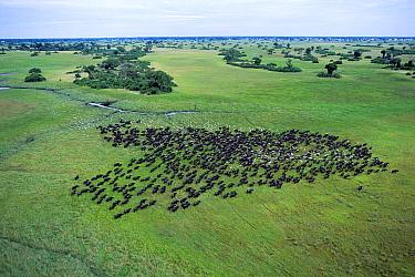 Cape Buffalo (Syncerus caffer) herd followed by Cattle Egret (Bubulcus ibis) flock, Okavango Delta, Botswana
