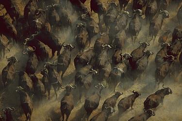 Cape Buffalo (Syncerus caffer) herd, Okavango Delta, Botswana  -  Richard Du Toit