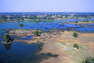Cape Buffalo (Syncerus caffer) herd in winter, Okavango Delta, Botswana