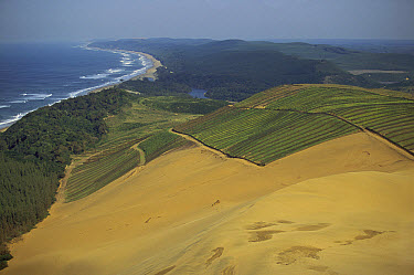 Dune rehabilitation after mining, north of Richards Bay, Kwazulu-natal, South Africa  -  Richard Du Toit