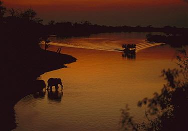 African Elephant (Loxodonta africana) drinking as tourist boat cruises by, Chobe River, Botswana  -  Richard Du Toit