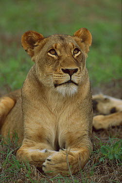 African Lion (Panthera leo) female Londolozi, Sabi-Sand Game Reserve, South Africa  -  Richard Du Toit
