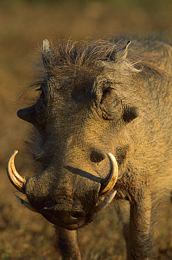 Cape Warthog (Phacochoerus aethiopicus) portrait, Eastern Cape, South Africa  -  Richard Du Toit