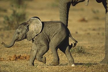 African Elephant (Loxodonta africana) calf, Eastern Cape, South Africa  -  Richard Du Toit