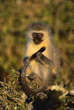 Black-faced Vervet Monkey (Cercopithecus aethiops) holding it's tail, eastern Cape, South Africa  -  Richard Du Toit
