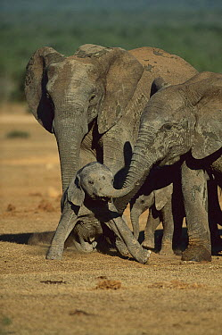 African Elephant (Loxodonta africana) adults hovering over calves, eastern Cape, South Africa  -  Richard Du Toit