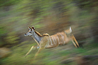 Greater Kudu (Tragelaphus strepsiceros) male running, Londolozi, Sabi Sands Private Game Reserve, South Africa  -  Richard Du Toit