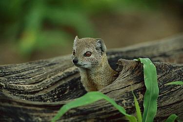 Yellow Mongoose (Cynictis penicillata) summer, Savuti, Chobe National Park, Botswana  -  Richard Du Toit