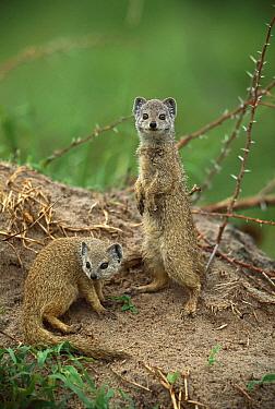 Yellow Mongoose (Cynictis penicillata) pair, summer, Savuti, Chobe National Park, Botswana  -  Richard Du Toit