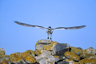 Great Crested-Tern (Sterna bergii) flying with fish, Dyer Island, South Africa