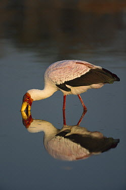 Yellow-billed Stork (Mycteria ibis), Khwai River, Botswana  -  Richard Du Toit