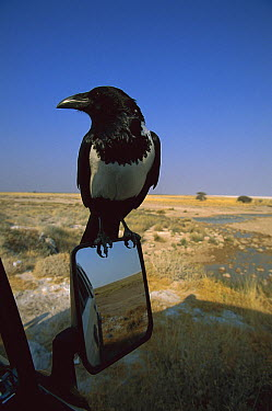 Pied Crow (Corvus albus) sitting on mirror of car, Etosha National Park, Namibia  -  Richard Du Toit
