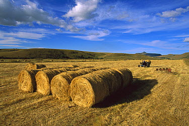 Hay bails, in April, Mpumalanga Highveld, South Africa  -  Richard Du Toit