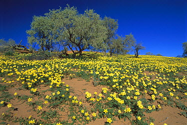 Yellow Vine (Tribulus terrestris), Kgalagadi Transfrontier Park, South Africa  -  Richard Du Toit