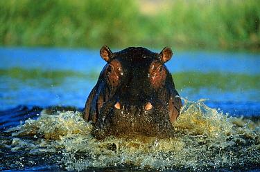 Hippopotamus (Hippopotamus amphibius) charging, Khwai River, Botswana  -  Richard Du Toit