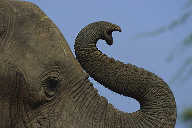 African Elephant (Loxodonta africana) bull's trunk curling, spring, Chobe National Park, Botswana  -  Richard Du Toit