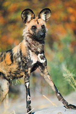 African Wild Dog (Lycaon pictus) portrait, Moremi Wildlife Reserve, Botswana