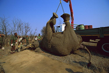 African Elephant (Loxodonta africana) lifting tranquilized animal for relocation program, Kruger National Park, South Africa  -  Richard Du Toit